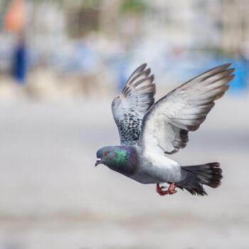pigeon Control Southwalk